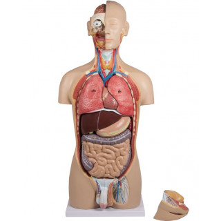 Torso mens 27-delig anatomie model