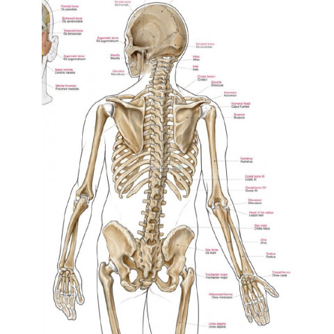 Educatieve en decoratieve skeletposter