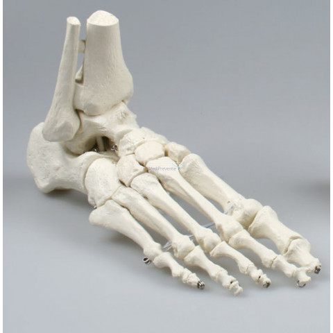 Skelet voet anatomie model